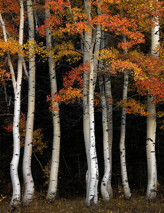 Idaho, south east, Aspens in autumn in the Cache National Forest stand out against dark pines and mountain side