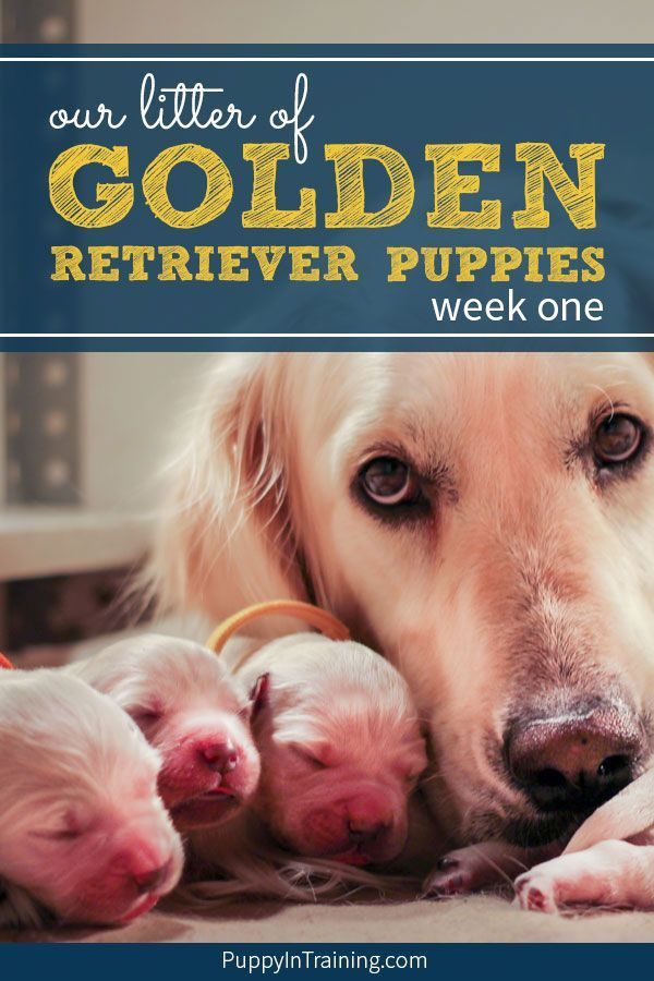 Golden Retriever Puppies Week By Week Growth And Pictures Starting