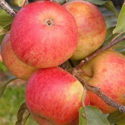 Æble - elstar. Kan gemmes