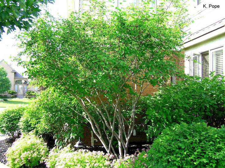 17 best ideas about amelanchier alnifolia on pinterest for Very small trees for landscaping