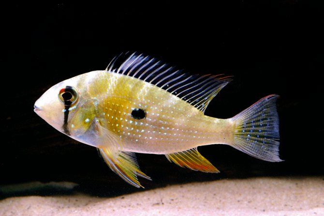 South American Cichlids Species Frequently Asked