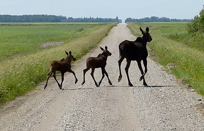 Long legs and large size make transport a dangerous elk. The majority (60-65%) deer collisions happen during the evening and morning twilight, when the moose are due to their dining times active.