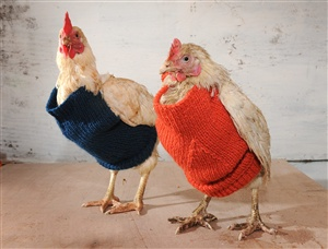 Knitting sweaters for bald chickens.  (Not quite as cute as fairy penguins in sweaters)