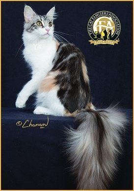 Maine Coon, black torti silver blotched & white (fs 09 22). THE BREWERY ULTRA