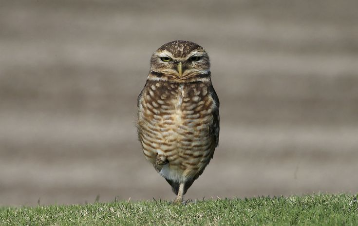 A burrowing owl looks stands on the Olympic Golf Course in Rio de Janeiro during a practice session for the 2016 Summer Olympics on September 8, 2016.
