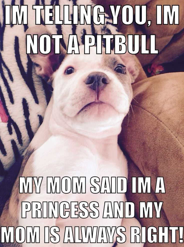 So cute!!!!! Pit bulls are soooooo sweet and cute. People who say they are mean are so wrong!!!!!!!!
