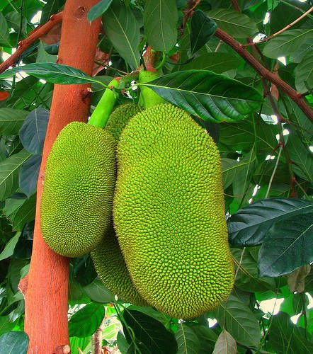Rare Tropical Fruits of Asia   Photo of the Jackfruit - Tropical Fruit Photo Gallery