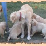How Much Love Little Pups Their Mama???  Super Cute Video   These ten golden retriever puppies named Bailey, Benny, Charlie, Cooper, Jack, Maebe, Ranger, Sammy, Sawyer and Tucker swarm their mother, then their father.  Every family should be this happy! Bella, Captain Jack and their ten beautiful  Golden Retriever Puppies !  Watching this video makes you feel all the love in the world! People are guessing, the father is the brown one and the mother is the golden one?   Special Art..