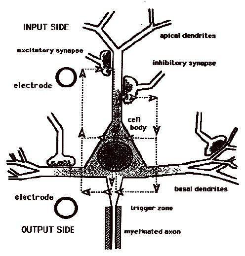 trigger zone of a neuron - Google Search   Brain images ...