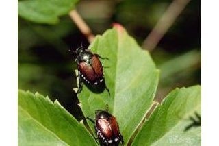 How to Make an Organic Spray for Japanese Beetles | eHow