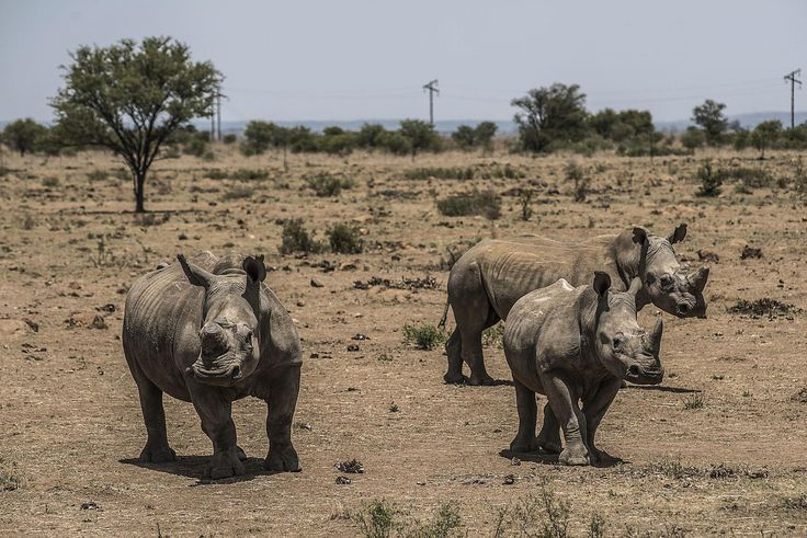 EVIL MUGABE & ZUMA MUST GO!  The high court's decision means that rhino horn sales will soon be legal again within the country, which many fear will exacerbate the poaching crisis.
