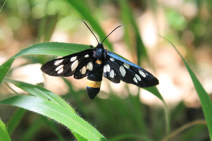 Amata Phegea, Nine-spotted moth Butterfly - Public Domain Photos, Free Images for Commercial Use