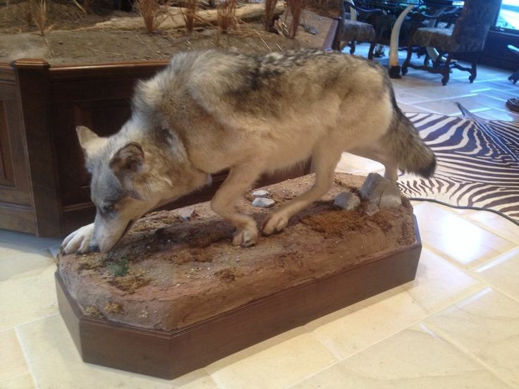 Life Size Full Body Authentic Wolf Mount On Stand