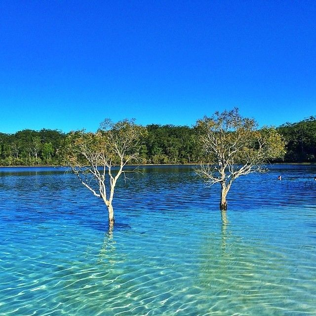 So many shades of #blue at Lake McKenzie on #FraserIsland. This pristine spot is a freshwater lake and a great place for a refreshing swim. There are actually more than 100 freshwater lakes on #FraserIsland - so you're spoilt for choice when searching for the perfect one to take a dip in. Photo: @leighkennett