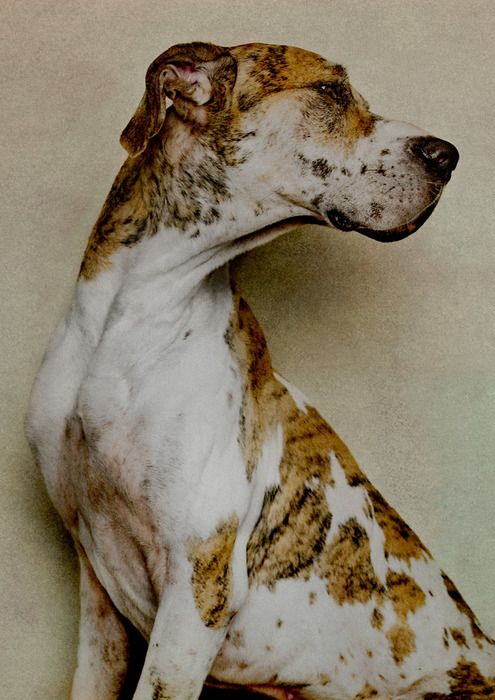 Great daneGreat Danes, Best Friends, Dogs Breeds, Handsome Boys, Danes Dogs, Brindle Dogs, Danes Animal, Big Dogs, Beautiful Dogs