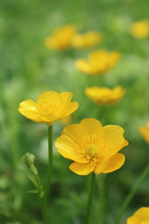 "boschintegral-photo: "" Buttercups, holding it under someone's chin to see if they like butter """
