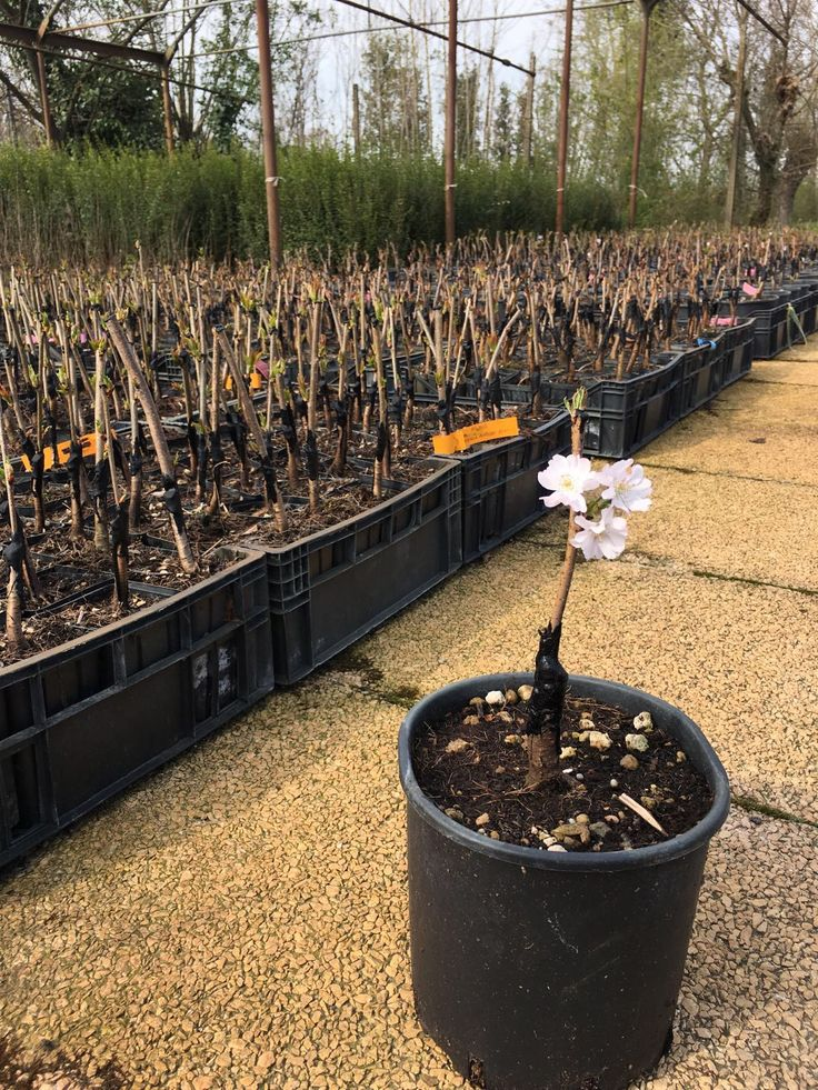 "Nuova produzione di #innesti: #prunus, #cornus, #ligustrum, #acer, #carpinus... In dettaglio: Prunus subhirtella ""Autumnalis""  #vivaio #innesto #grafting #Veredlung #Baumschule #greffage #injerto #enten #fiore #Blumen #Flower #ciliegio #kirschbaum #boomkwekerij #pepiniere #fleur #bloem #kersenboom # proppen #enten"