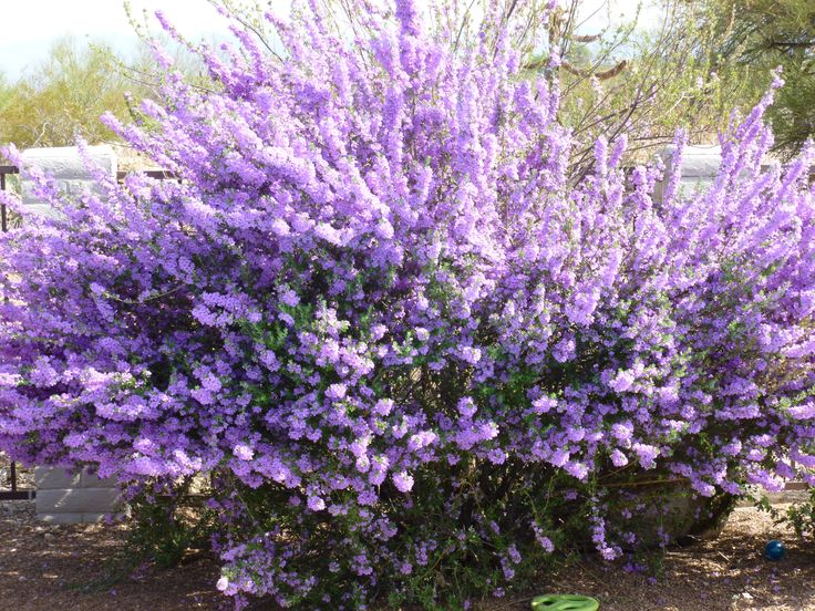 This plant has several name, depending on where you find yourself. In west Texas it's called Purple Sage; also known as: Texas Ranger Plant and in Arizona it is commonly called Purple Texas Sage. This plant needs no attention at all. It blooms when there is moisture in the air, thus announcing rain for us in drought-stricken areas. Grows in full sun.