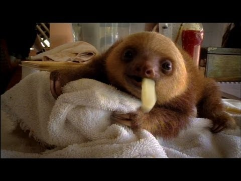 Baby Sloths Need Love