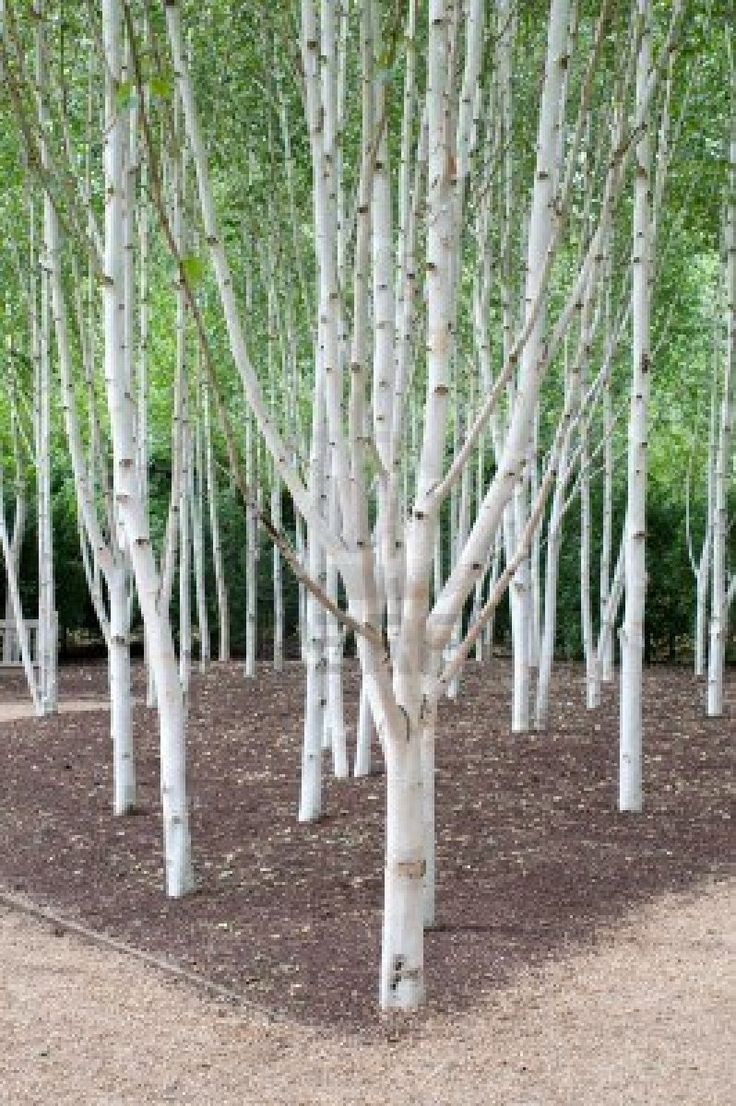 A group of silver birch trees they can be planted close for Silver birch trees for small gardens