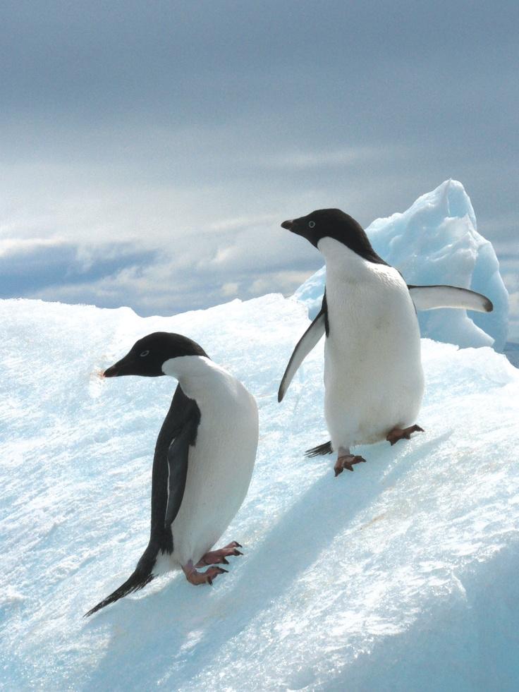 Best 25+ Cute penguins ideas on Pinterest   Baby penguins ...