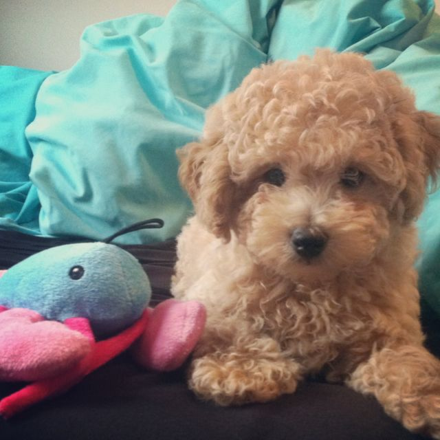 Apricot Toy poodle puppy. He looks like my Curley!