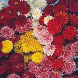 Chrysanthemum grandiflorum-hybrider syn. Chrysanthemun x hortorum, Krysantemum, Asteraceae Kurvblomstfamilien, SNITT/STUE
