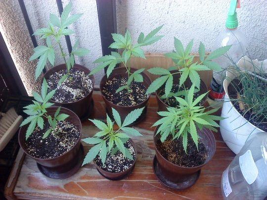 Konopí a pažitka. K pěstování doporučujeme to druhé https://www.semena-marihuany.cz/cs/zahradni-osivo/95-pazitka-prava-prazska-jemna-1-seminka-5-g.html