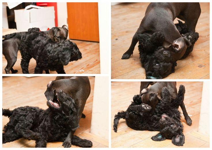 Labradoodle image by Eva Chudomelová on My puppy Puppies
