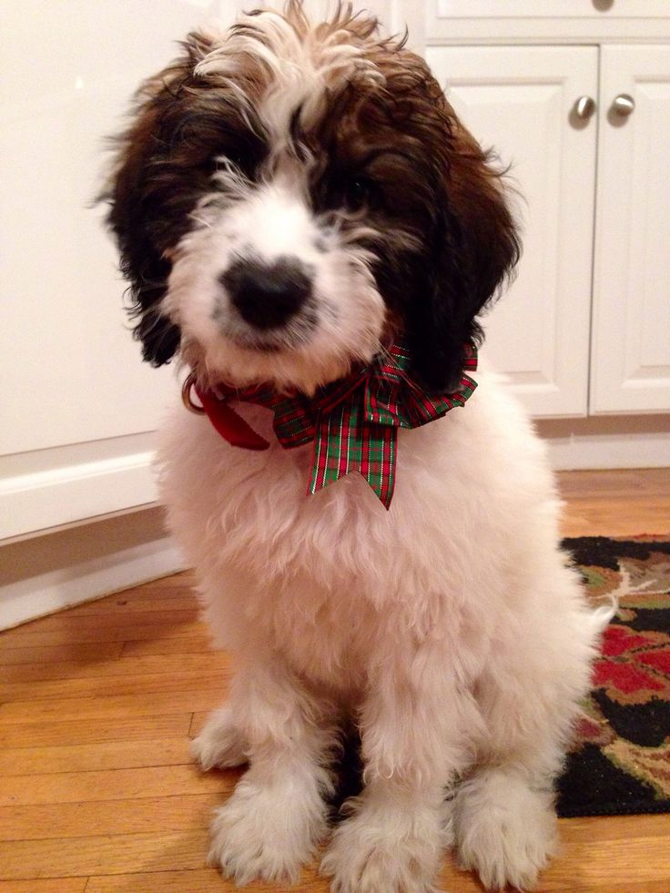 The Saint Bernard - Poodle. St berdoodle. The cutest curly fluffy little puppy dog ever. #cutepuppy #adorable