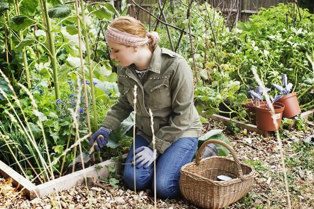 Here is what you need to know to start your own organic vegetable garden. From site selection to figuring out the right size, to amending the soil and planting your new organic vegetable garden.