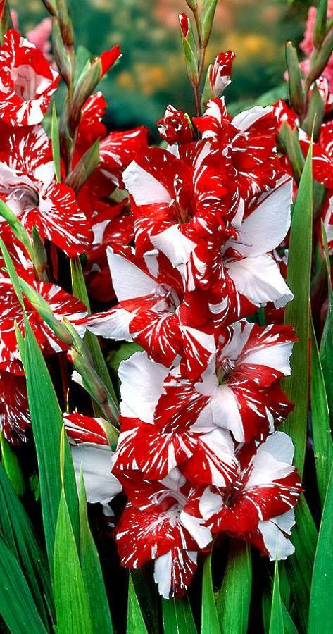 5 zizanie sword lily bulbs~red&white~colorful summer flowers 3-4ft tall plants