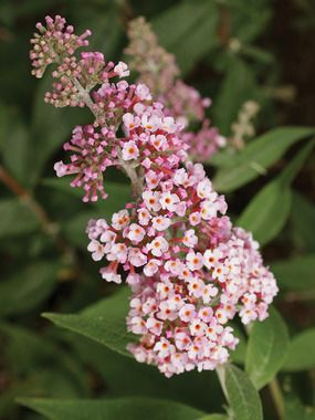 145 Best Images About Plant Cultivars Fall Perenniels On