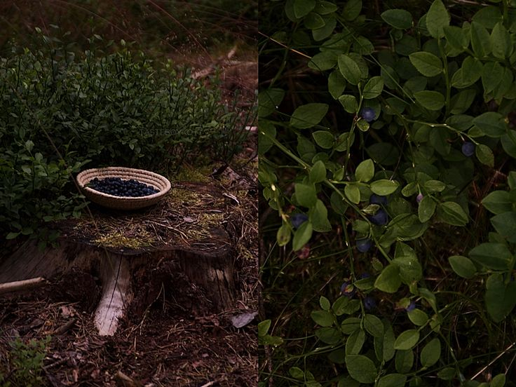 Picking blueberries in the forest - dark and moody photography // Heidelbeeren pflücken im Wald Fotostory