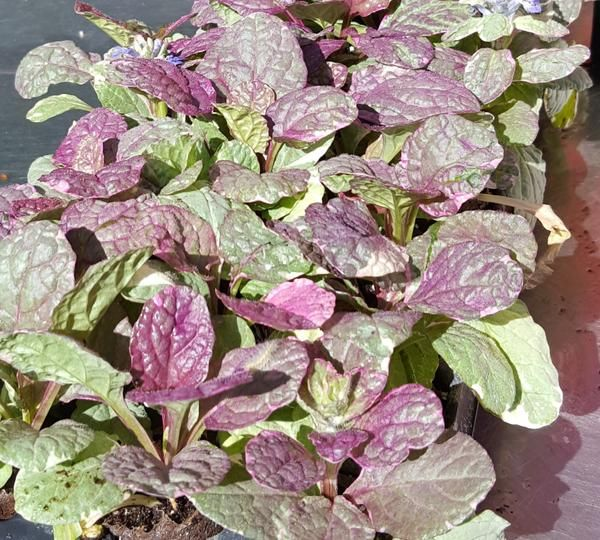 Ajuga 'Burgundy Glow', is a low growing ground cover with variegated foliage that is blushed with variations of pink and purple. The wild foliage markings coup