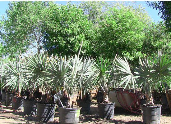 Bismarkia nobilis | Bismark Palm - Moon Valley Nursery