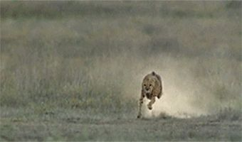 When a cheetah runs, it quickly rotates its tail to cancel rotational inertia and minimize torque: | 23 GIFs That Will Teach You A Damn Thing For Once In Your Life