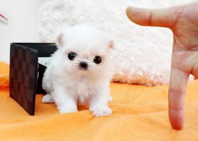 Micro Teacup Maltese Puppies | 332793 South Africa Baby Bootsie ~ Micro Teacup Maltese Puppy For Sale ...