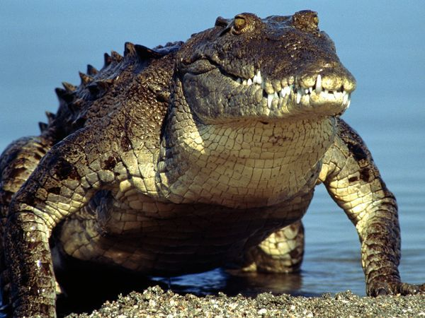 [Protected Status: ENDANGERED] The American crocodile is considered an endangered species in nearly all parts of its North, Central, and South American range. Survey data, except in the United States, is poor or nonexistent, but conservationists agree that illegal hunting and habitat depletion has reduced populations of this wide-ranging reptile to critical levels.