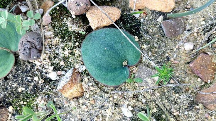 Eriospermum zeyheri leaf