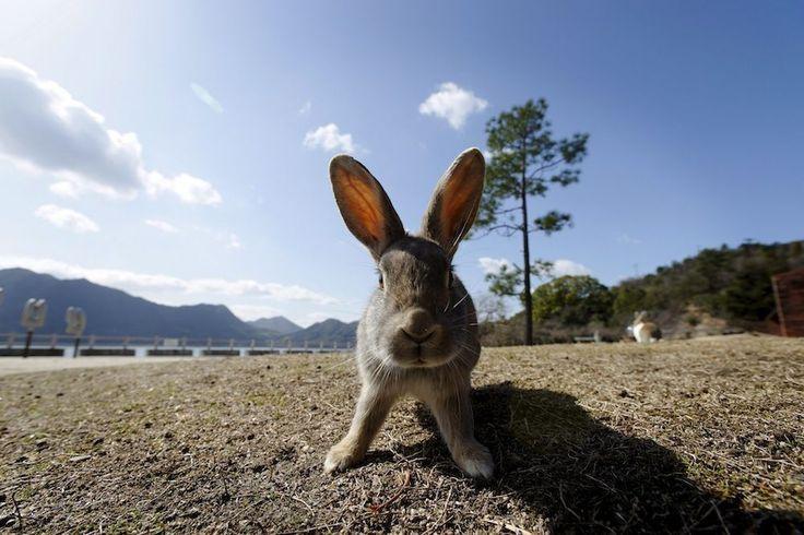 Okunoshima Islet© EPA  Tijdens de Tweede Wereldoorlog was dit een uiterst geheime locatie. Het was niet op de kaart te vinden en er werd gifgas geproduceerd. Tegenwoordig staat het bekend om de enorme populatie konijnen. Toeristen bezoeken het eiland om deze diertjes te voeren en om te kamperen, golfen of overnachten in een vakantieresort.