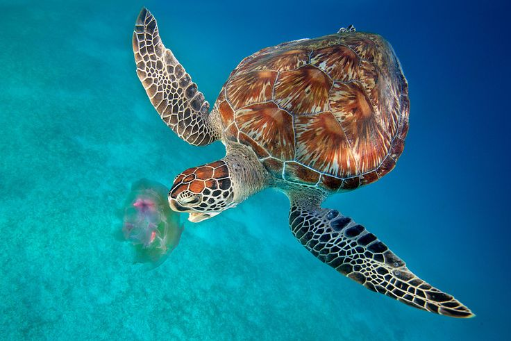 Green #Turtle eating #Jellyfish - Dimakya Island, Philippines. Photo by Ai Angel Gentel via Flickr.