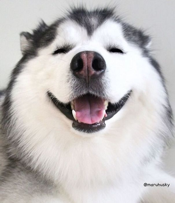 Meet Maru, The Happiest Husky In The World That Is Secretly A Panda