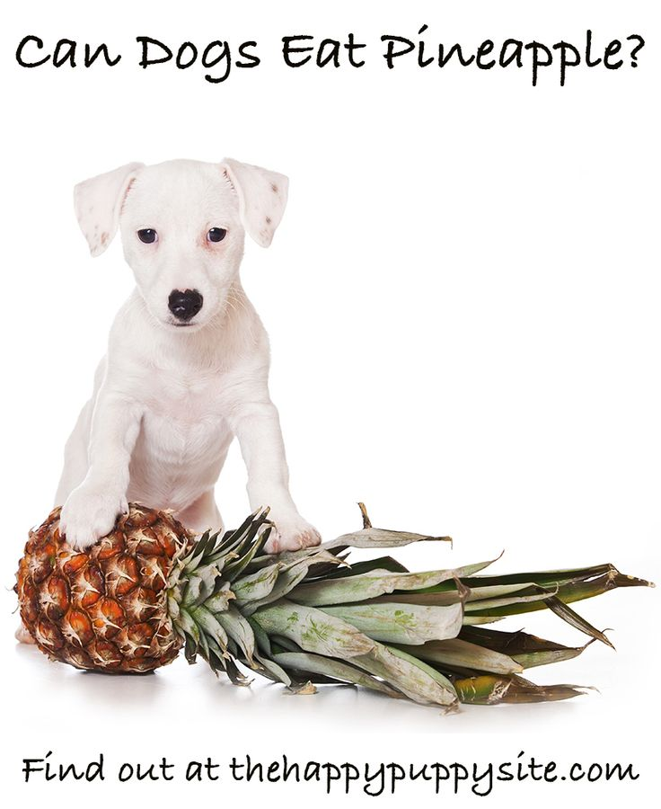 Is Pineapple Good For Dogs? We find out whether you should be giving your dog pineapple as a snack.
