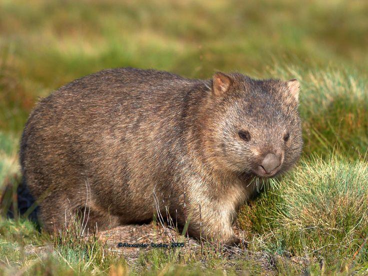 common wombat | Common Wombat, Vombatus ursinus