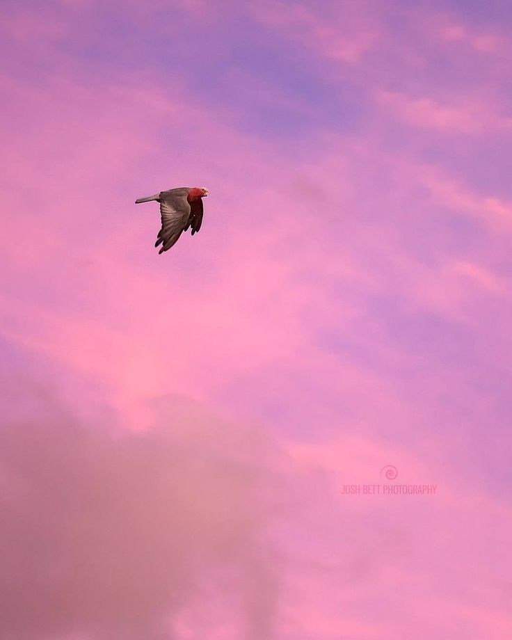 """Romanticised Galah""  you know a pair of Galahs will bond for life and will be capable of breeding for up to 40 years? No wonder they are so common in Australia.  This one must be single…probably attending a date on sunset…what a romantic!"