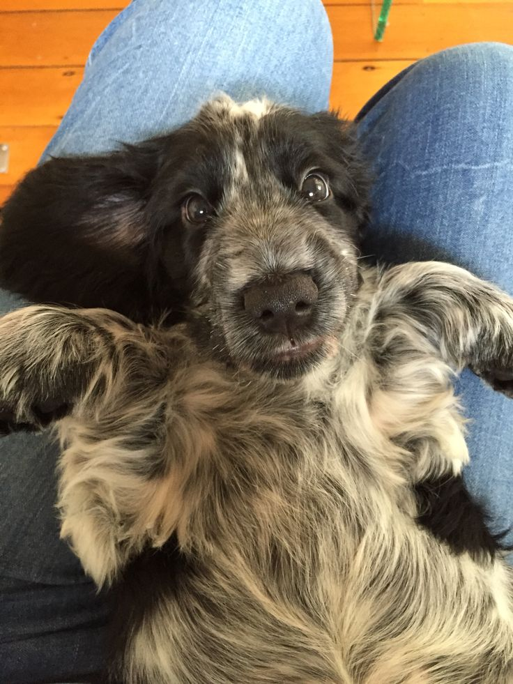 Rohan, the blue roan cocker spaniel, 9 weeks
