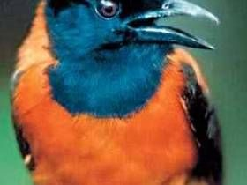 Todo el mundo sabe acerca de la existencia de insectos venenosos, peces, serpientes, ranas, pero recientemente se ha descubierto que también hay aves venenosas. En 1990, fue investigado por una nueva especie de ave - Drozdová papamoscas (pitah). Resultó que este pequeño y bonito pajarito tiene glándulas que producen un veneno muy fuerte!Es bueno qu...