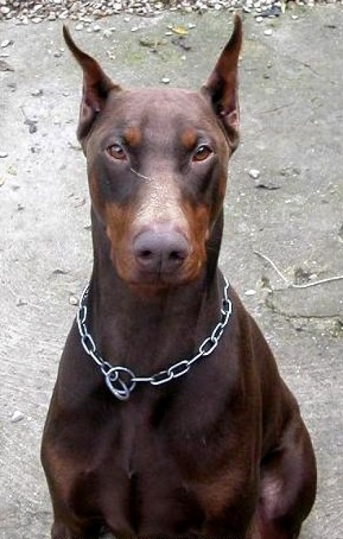 Doberman-  I had two red dobbies  First was Sam and Second one Punkin.  They were already named when I got them.  Both females
