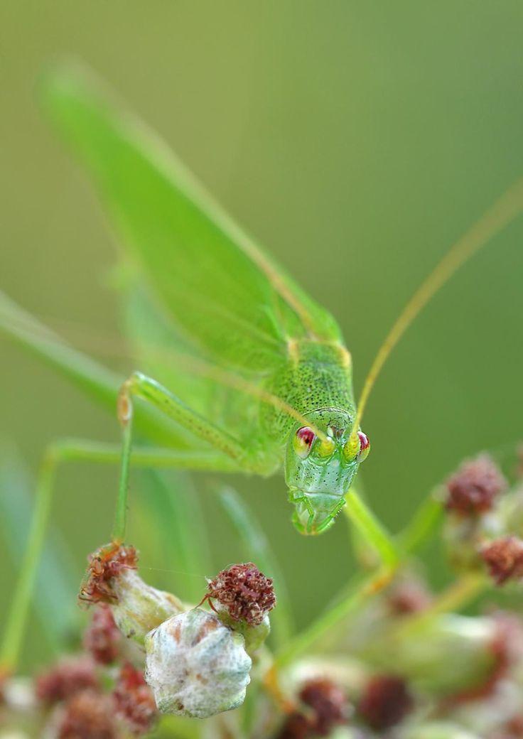 🌈 Green Grasshopper Macro Photography - download photo at Avopix.com for free    ☑ https://avopix.com/photo/43991-green-grasshopper-macro-photography    #lacewing #insect #arthropod #invertebrate #plant #avopix #free #photos #public #domain